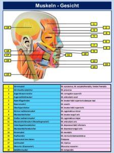 Muskeln Gesicht Anatomie